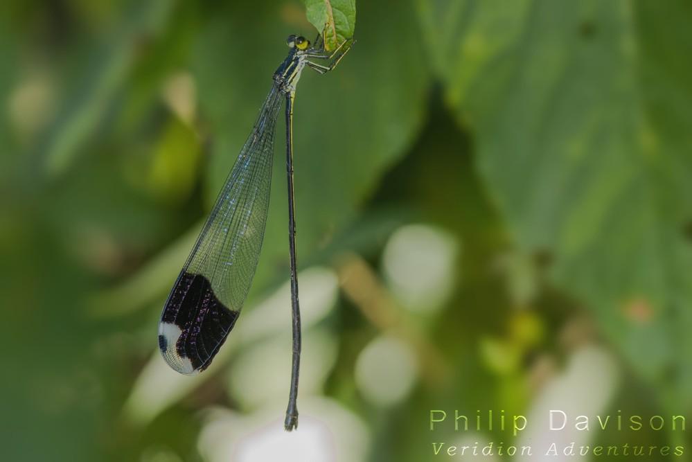 Rainforest Damselflies. Odonata. Zygoptera. Pseudostigmatidae. Helicopter Damselfly. Megaloprepus caerulatus. Costa Rica. Philip Davison. Veridion Adventures.