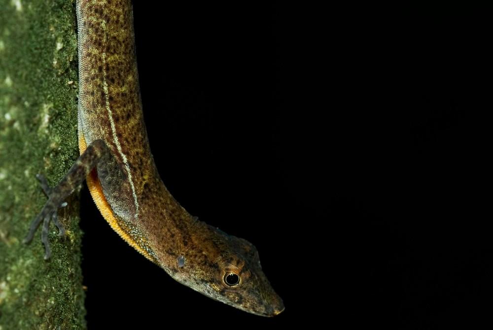 Golfo Dulce Anolis Lizard (Norops polylepis)