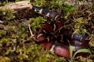 Coral Crowned Snake