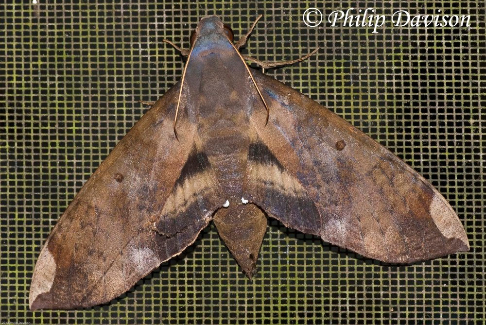 Unidentified Hawk Moth